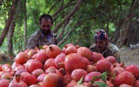 پیشبینی برداشت بیش از ۱۷۰ هزار تن انار در ساوه